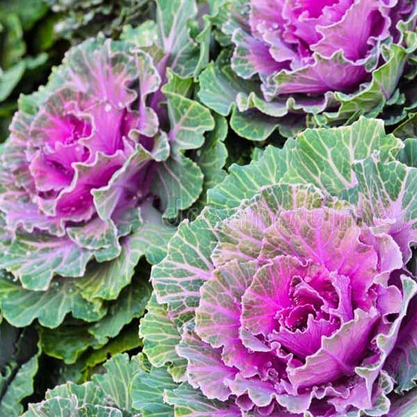 λαχανα λουλουδια